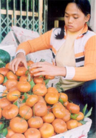 Giống quýt lửa được nhiều hộ nông dân ở Văn Chấn trồng cho thu nhập cao.