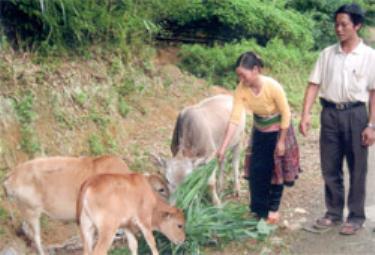 Chị Vàng Thị Chư xã Suối Giàng được dự án đầu tư bò tái sinh sản, nay đang phát triển tốt.