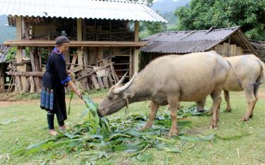 Đồng bào vùng cao được hỗ trợ bằng nhiều biện pháp để khai thác tiềm năng đất đai phát triển chăn nuôi gia súc nâng cao đời sống kinh tế.