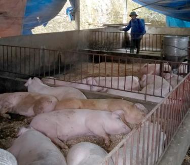 Người chăn nuôi chủ động bảo vệ đàn lợn của mình.