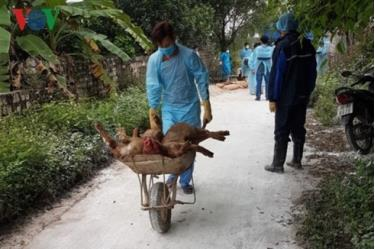 Dịch tả lợn châu Phi bùng phát tại nhiều địa phương trên cả nước.