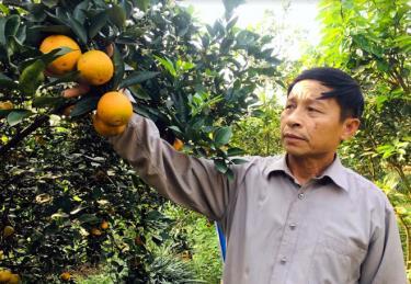 Ông Phạm Văn Quảng trồng cam V2 cho hiệu quả kinh tế cao.