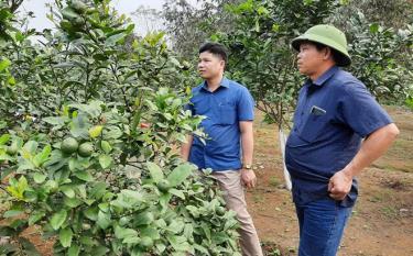Anh Nông Văn Cảm (bên phải) kiểm tra sự phát triển của cây chanh tứ mùa.