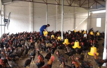 Cu Huy Hoang's chicken farm in Lang Gia hamlet of Yen Thang commune, Luc Yen district, has generated considerable economic benefits.