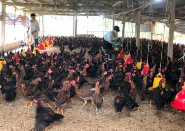 Một mô hình chăn nuôi gà thương phẩm theo chuỗi giá trị xã Vân Hội mang lại hiệu quả kinh tế cao.