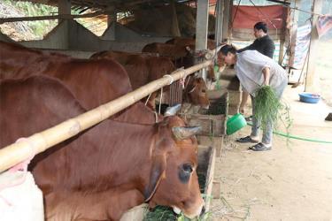 Ông Đặng Văn Nam chăm sóc đàn bò của gia đình.