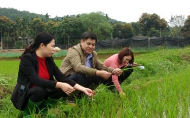 Lãnh đạo huyện Trấn Yên kiểm tra sâu bệnh hại trên cây lúa.