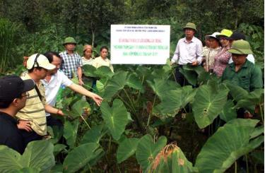 Lãnh đạo huyện Trạm Tấu thực tế mô hình thâm canh cây khoai sọ tại thôn Tà Xùa, xã Bản Công. (Ảnh: Ngọc Sơn)