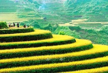 Ngày mùa trên những thửa ruộng bậc thang ở Hà Giang. Ảnh minh họa