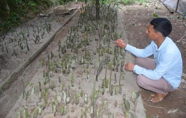 People in Cuong Thinh commune, Tran Yen district prepare seeds to plant la khoi.