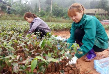 Chị Đỗ Thị Luyến (bên phải) chăm sóc vườn quế giống.