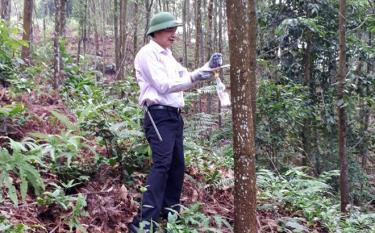 An officer of the provincial Forest Protection Department examines a forest area granted with the FSC certificate in Tan Nguyen commune.