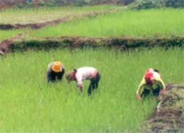 Nhân dân xã Nghĩa Sơn chăm sóc lúa xuân.
