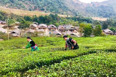 Người dân thôn Bu Cao chăm sóc chè Shan tuyết.