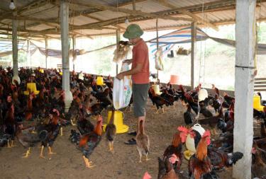 Nhờ phát triển kinh tế gia đình theo mô hình vườn - rừng - chăn nuôi, gia đình anh Phạm Văn Sang đã có thu nhập cả tỷ đồng mỗi năm.
