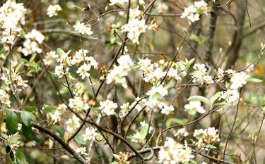 Năm nay hoa Táo mèo nở rộ hứa hẹn một mùa quả bội thu.