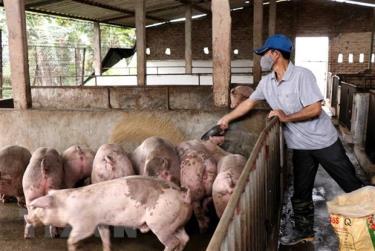 Chăm sóc đàn lợn thịt tại xã thư Phú, huyện Thường Tín, Hà Nội.