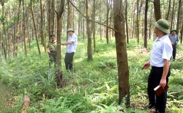 Lãnh đạo Chi cục Kiểm lâm tỉnh cùng cán bộ kiểm lâm huyện Yên Bình khảo sát năng suất rừng trồng tại huyện Yên Bình. (Ảnh: Thu Trang)