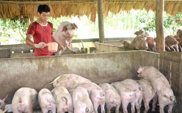 Theo Nghị quyết, những hộ gia đình chăn nuôi lợn nái sinh sản có quy mô từ 5 con trở lên sẽ được hỗ trợ 1 lần. Mức hỗ trợ 12 triệu đồng/hộ gia đình. (Ảnh: Đức Toàn)