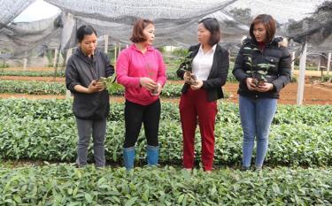 Cán bộ Hội Liên hiệp Phụ nữ huyện Văn Yên kiểm tra mô hình ươm quế tại Tổ hợp tác ươm quế giống xã Ngòi A.