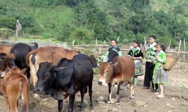 Mô hình chăn nuôi bò theo hướng bán chăn thả của đồng bào Mông thôn Bu Cao, xã Suối Bu, huyện Văn Chấn.