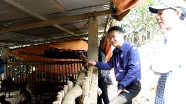 Chủ tịch UBND huyện Văn Yên Hà Đức Anh kiểm tra mô hình phát triển chăn nuôi dưới tán rừng quế của gia đình ông Nguyễn Văn Thuận, xã Yên Phú.