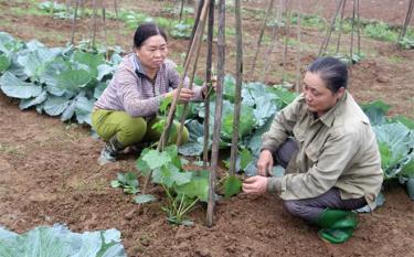 Nông dân xã Âu Lâu chăm sóc rau màu vụ đông.