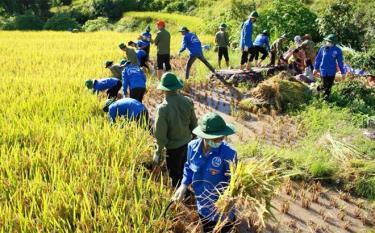 Đoàn viên, thanh niên huyện Trạm Tấu giúp dân thu hoạch lúa tại xã Bản Mù.