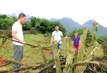 Anh Nguyễn Văn Thiết (đứng giữa), thôn Nông Trường, xã Thượng Bằng La bên những gốc cam 12 năm tuổi vừa chặt bỏ.