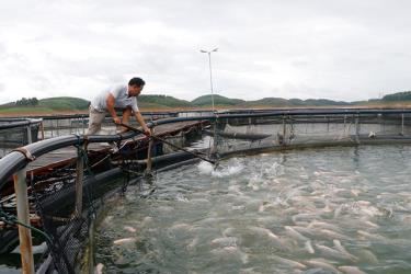 Nuôi cá lồng trên hồ Thác Bà, huyện Yên Bình.