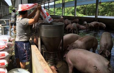 Giữ vệ sinh chuồng trại và cho ăn thức ăn đạt tiêu chuẩn là những biện pháp hữu hiệu phòng, chống dịch tả lợn châu Phi.
