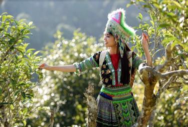 Cây chè Shan tuyết gắn bó với đồng bào dân tộc Mông Suối Giàng từ nhiều đời nay.