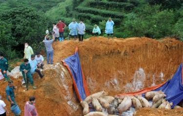 Yên Bái đã tổ chức tiêu hủy  847 con lợn mắc và nghi mắc bệnh DTLCP với trọng lượng 40 tấn.
