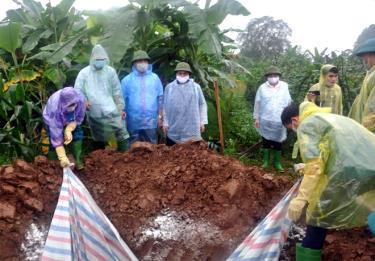 Việc tiêu hủy lợn bệnh DTLCP phải có sự giám sát, tổ chức của các cơ quan chức năng, chính quyền các cấp của địa phương.  (Ảnh: Hồng Duyên)