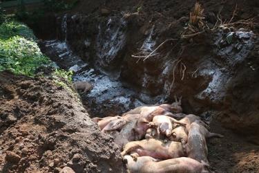 Tiêu hủylợnnhiễm bệnh tại hai ổ dịch ở huyện Phú Giáo (Bình Dương).