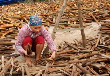Mùa thu hoạch quế ở Đại Sơn, Văn Yên.