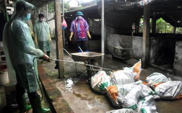 lực lượng chức năng tiêu hủy lợn mắc bệnh tại xã Minh Quân, huyện Trấn Yên. (Ảnh: Mạnh Cường)