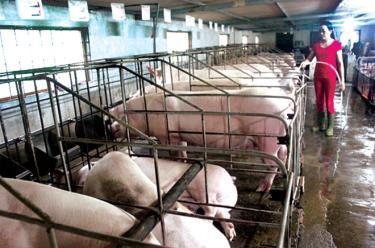 Các hộ chăn nuôi phải cùng vào cuộc phòng, chống dịch bệnh và không nên tái đàn vào thời điểm này. (Hồng Duyên)