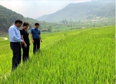 Giống lúa tẻ đỏ được người dân Hát Lừu đưa vào sản xuất mang lại hiệu quả kinh tế cao.