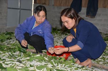 Chị Phạm Thị Huyền ở thôn 1, xã Đào Thịnh (bên trái) đang nuôi lứa tằm thứ 4 vụ xuân năm nay.