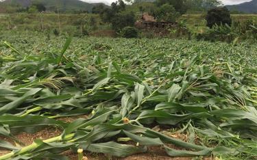 Từ đầu năm đến nay, Yên Bái bị thiệt hại nhiều về sản xuất nông nghiệp do dông lốc, mưa đá.