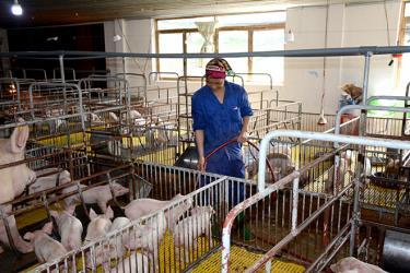 Công nhân Công ty TNHH Đầm Mỏ chăm sóc lợn giống.
