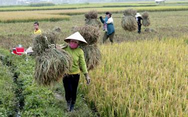 Nông dân Nghĩa Lộ thu hoạch lúa xuân. Ảnh Báo Anh