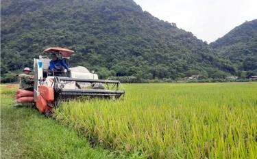 Bà con chủ yếu sử dụng máy gặt đập liên hoàn trong thu hoạch.