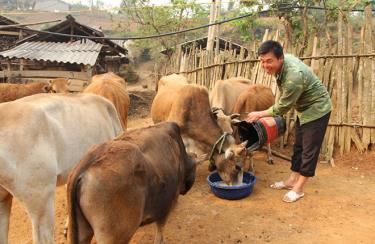 Cựu chiến binh Giàng A Câu, bản Hồ Nhì Pá, xã Lao Chải chăm sóc đàn bò của gia đình.