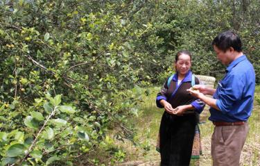 Sơn tra trở thành cây xóa đói giảm nghèo cho đồng bào vùng cao.