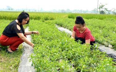 Chị Đông (bên trái) hướng dẫn người dân xã Nghĩa Lợi chăm sóc cây cỏ ngọt.