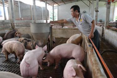 Do ảnh hưởng từ bệnh dịch tả lợn châu Phi, sản lượng thịt lợn hơi xuất chuồng 6 tháng đầu năm 2019 giảm 5% so với cùng kỳ năm 2018.
