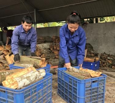 Hợp tác xã Quế Hồi Việt Nam góp phần giải quyết việc làm, nâng cao đời sống vật chất, tinh thần của nhân dân xã Đào Thịnh, huyện Trấn Yên.