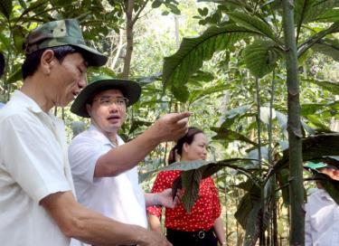 Đồng chí Giàng A Câu - Chủ tịch Hội Nông dân tỉnh Yên Bái (giữa) kiểm tra mô hình trồng cây lá khôi tại xã Cường Thịnh (Trấn Yên).